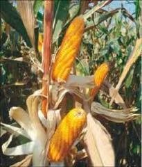 Semilla de Maiz HP 104