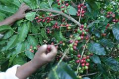 Café de Exportación: Cafe Oro de Exportación