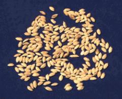Semillas de arroz